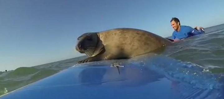 霸气外露的小海豹劫持冲浪板