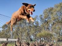 澳洲牧羊犬Chip与鸸鹋保姆模式和保镳模式