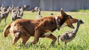 05_澳洲牧羊犬Chip的保姆模式与保镳模式