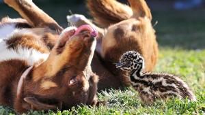 06_澳洲牧羊犬Chip的保姆模式与保镳模式