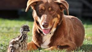 07_澳洲牧羊犬Chip的保姆模式与保镳模式