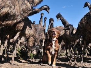 10_澳洲牧羊犬Chip的保姆模式与保镳模式