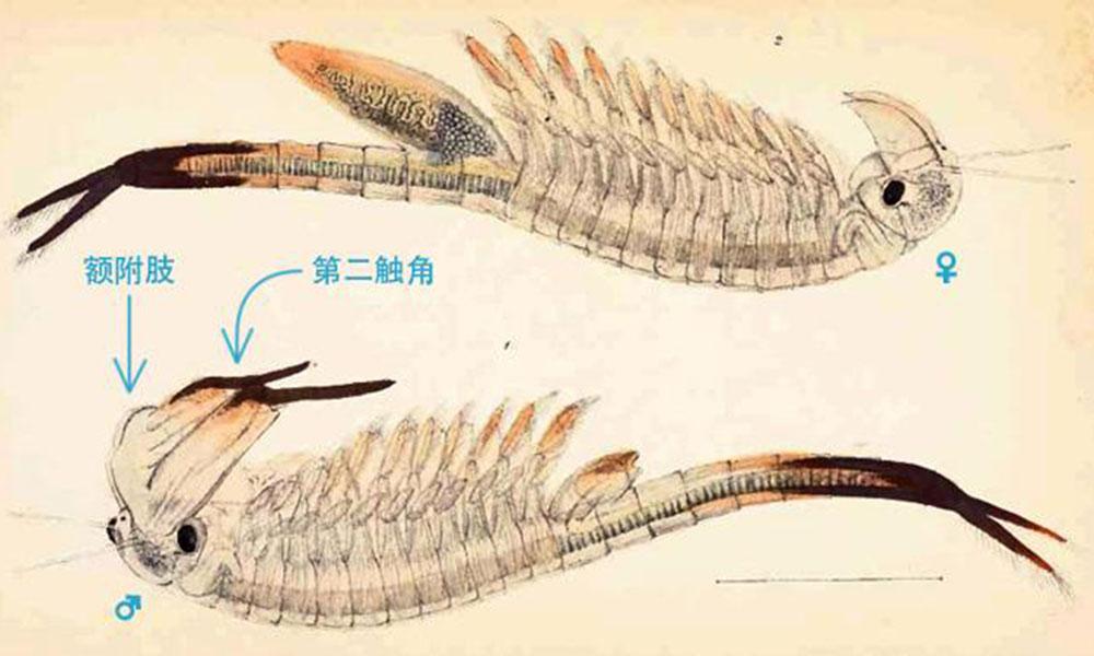 05_史前物种仙女虾,2亿年前曾与恐龙同时代生活_史前生物